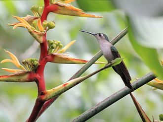Wedge-tailed sabrewing - In Belize