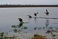 Canada Geese Panic - panoramio.jpg