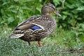 Canard colvert femelle (Anas platyrhynchos) (6).jpg