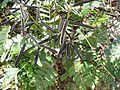 Candle bush (habit and pods).jpg