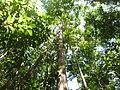 Canopée forêt guyanaise.JPG