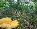 Cantharellus cibarius 20090717-06.jpg