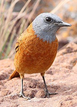 Cape Rock Thrush, Monticola rupestris at Marakele National Park, South Africa (13936063869).jpg