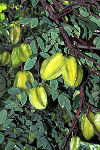 Starfruit, a popular fruit in Southeast Asia