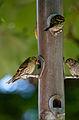 Carduelis spinus -Longshaw Estate, Peak District National Park, Derbyshire, England -bird feeder-8.jpg