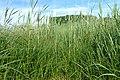 Carex disticha kz02.jpg