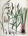 Carex kochiana — Flora Batava — Volume v17.jpg