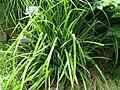 Carex pendula 3.jpg