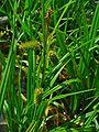 Carex pseudocyperus 002.JPG