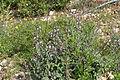Carmel Flora - Hai-Bar Nature Reserve IMG 0788.JPG