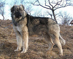 Carpathian Shepherd Dog Top Large Dog