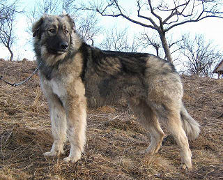 Carpathian Shepherd Dog Dog breed