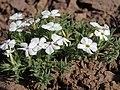 Carpet phlox, Phlox hoodii subsp. canescens (33628126138).jpg