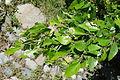Carpinus turczaninowii - Arnold Arboretum - DSC06925.JPG