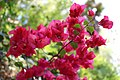 Caryophyllales - Bougainvillea glabra - 2.jpg