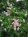 Cassia javanica 2.jpg