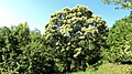 Castagno in Fiore - panoramio.jpg
