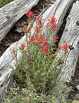 Castilleja applegatei ssp martinii 3.jpg