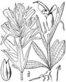Castilleja coccinea drawing.png