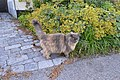 Cat (Felis catus) - Oslo, Norway 2020-08-14.jpg