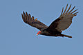 Cathartes aura -Morro Bay, California, USA -flying-8b.jpg