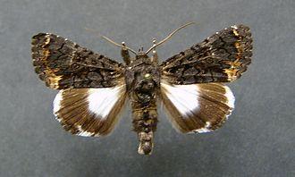 Catephia alchymista - Image: Cathephia alchymista