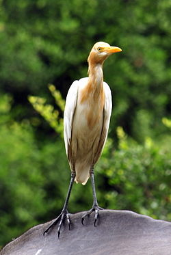 Cattle Egret2.jpg