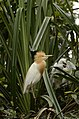 Cattle egret (Bubulcus ibis) from Ranganathittu Bird Sanctuary JEG4311.JPG