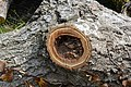 Cavités dans des bûches de peuplier blanc (19).JPG