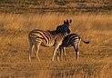 Cebras de Burchell (Equus quagga burchellii), delta del Okavango, Botsuana, 2018-07-31, DD 16.jpg