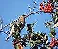 Cedar Waxwing (46803332592).jpg