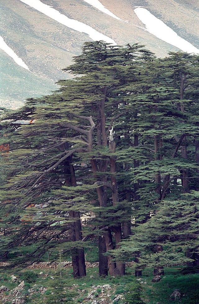 Cedars Of Lebanon ~ Bangor to bobbio the kingdom of god is as if someone