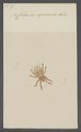 Celaeno - Print - Iconographia Zoologica - Special Collections University of Amsterdam - UBAINV0274 072 05 0023.tif