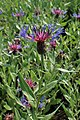 Centaurea montana kz02.jpg