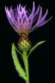 Centaurea stoebe ssp micranthos EP4490-05.png
