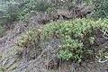 Centranthus ruber (L.) DC. (AM AK348649-3).jpg