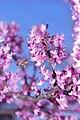 Cercis canadensis TX-2009.jpg