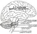 Cerebral brain.png