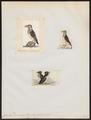Cerorhina monocerata - 1700-1880 - Print - Iconographia Zoologica - Special Collections University of Amsterdam - UBA01 IZ17800189.tif