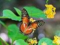 Cethosia biblis 59415612.jpg