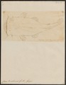 Chaca buchanani - 1700-1880 - Print - Iconographia Zoologica - Special Collections University of Amsterdam - UBA01 IZ14600021.tif