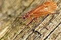 Chaetopteryx villosa.-.lindsey.jpg