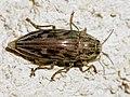 Chalcophora mariana (dorsal).jpg