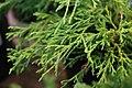 Chamaecyparis pisifera Filifera Sungold 1zz.jpg