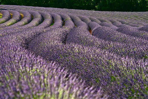 Lavender fields are a well known feature of the South of France, mainly located in Provence Champ de lavande,France.jpg