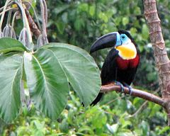 Channel-billed Toucan in the Rain - Flickr - treegrow.jpg