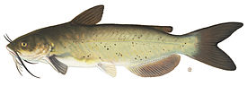 Channel catfish1.jpg