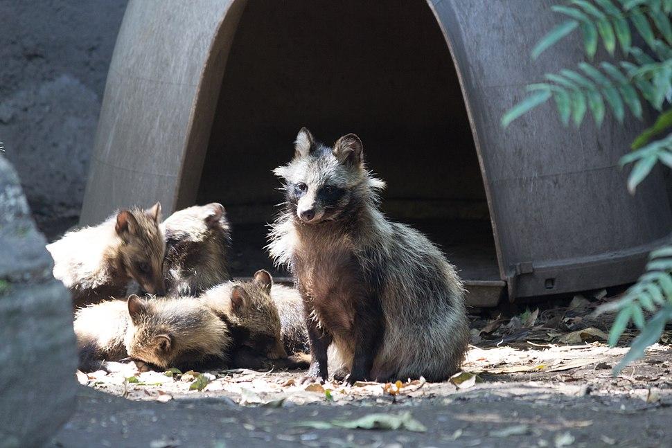 Chapultepec Zoo - Raccoon dog (03)