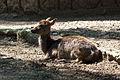 Chapultepec Zoo - Sika deer.jpg