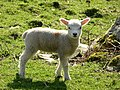 Cheeky lamb Tyddn-Evan-fychan Farm - geograph.org.uk - 394117.jpg
